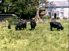 The Cwm Gorphen Herd on a sunny day with the house in the background.