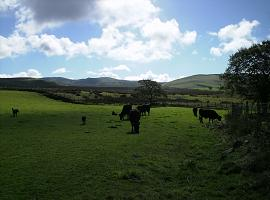A group of cows, calves and dogs in a rolling field with a blue sky above.